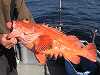 Yelloweye Rockfish with signs of barotrauma
